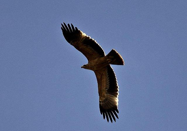 Investigan la muerte de tres águilas imperiales en Doñana