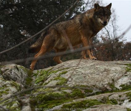 lobos picos de europa