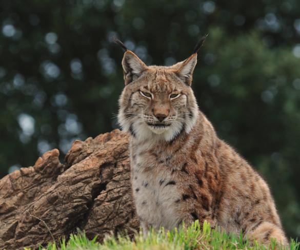 'Life+Iberlince', uno de los finalistas de los premios Natura 2000