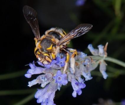 abeja-liebana