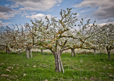 VI Ruta Cerezos en Flor 2016