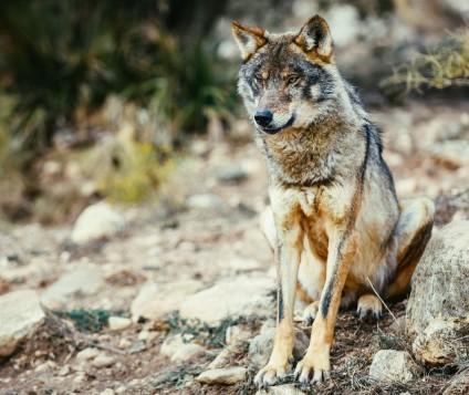 lobo-iberico-andalucia