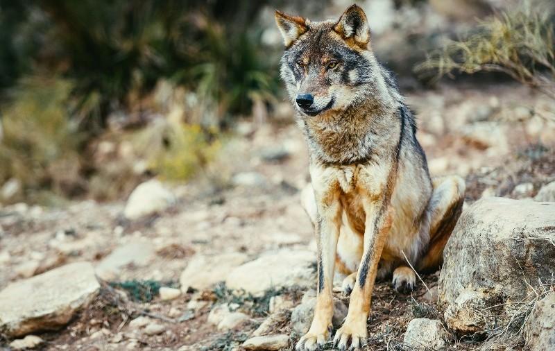 Nuevo proyecto de recuperación del lobo ibérico