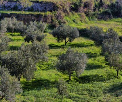 campo-olivos
