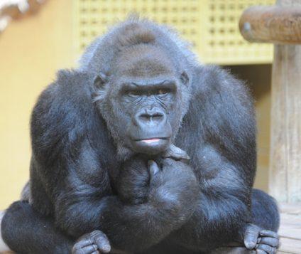 gorila-cabarceno