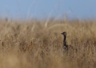 el Sisón un ave en declive en Aragón.