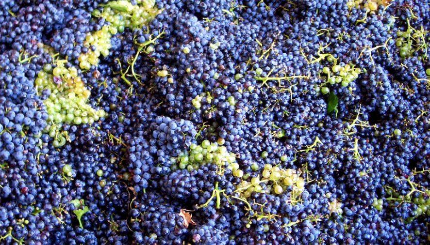 La Denominación de Origen de Arlanza recogerá menos uva pero tendrá mucha calidad
