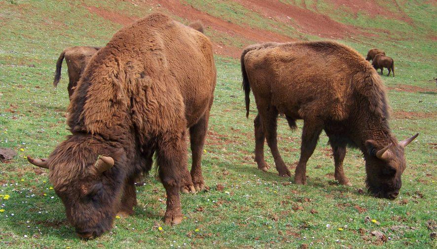 Nace en Huesca la primera cría de bisonte europeo